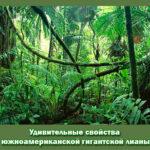 Удивительные свойства южноамериканской гигантской лианы
